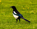 Magpie with blue wings.jpg