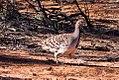 Malleefowl (Leipoa ocellata) (8079565870).jpg