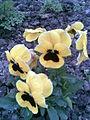 Malpighiales - Viola x wittrockiana 4 - 2011.04.19.jpg