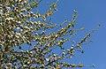 Malus domestica Blüten 20150423.JPG
