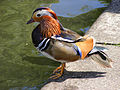 Mandarin Duck, Regents Canal, London.jpg