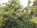 Mango Tree, Dungri, Udvada,Pardi - panoramio.jpg