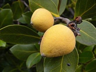 Avicennia marina - Avicennia marina var. resinifera fruit