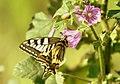 Mariposa rey - papilum machaon (479016599).jpg
