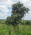 Markhamia obtusifolia Tree.jpg