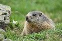 Marmota marmota sp. 03.jpg