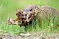 Marmota monax UL 09.jpg
