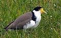 Masked Lapwing Vanellus miles, Christchurch NZ (36709768452).jpg