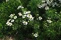 Matricaria chamomilla plant (05).jpg