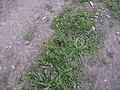 Matricaria dioscoidea DC. (AM AK299048).jpg