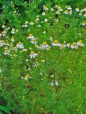 Matricaria recutita 001 cropped.jpg