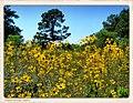 Maximillian Sunflowers - Flickr - pinemikey.jpg