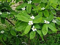 Common-Medlar flowers