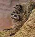Meerkats United (10549314974).jpg