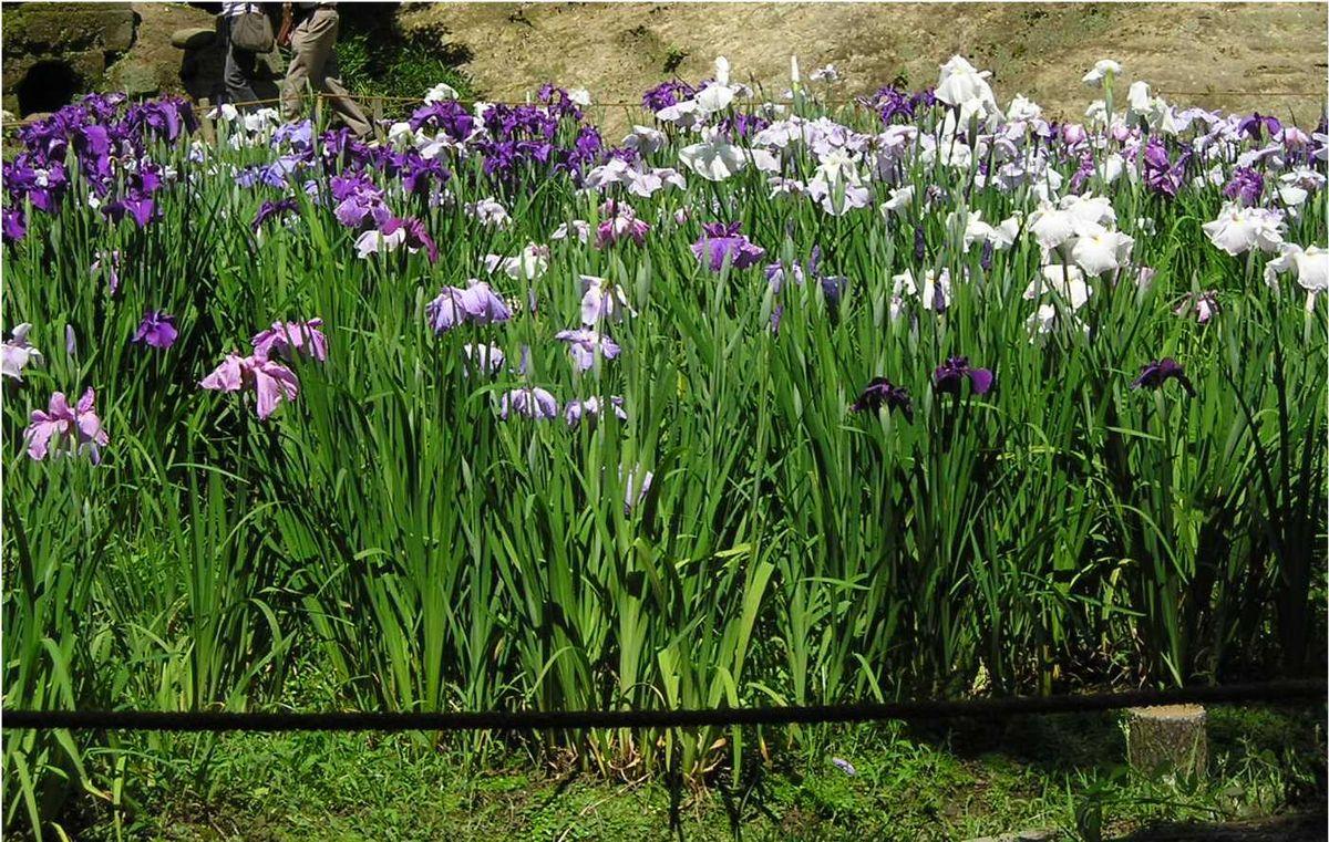 Japanese Iris Wikipedia