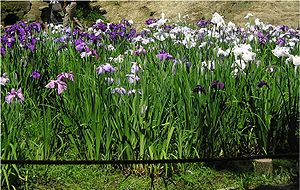 Iris ensata - Hanashōbu at Meigetsu-in