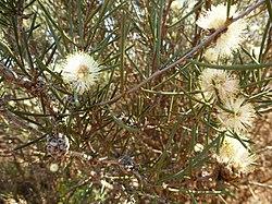 Melaleuca hamata (Leaves, flowers, fruits).JPG