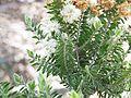Melaleuca tortifolia (2).jpg