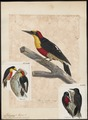 Melanerpes flavifrons - 1825-1834 - Print - Iconographia Zoologica - Special Collections University of Amsterdam - UBA01 IZ18700405.tif
