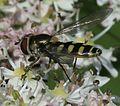 Melangyna labiatarum (female) - Flickr - S. Rae (12).jpg
