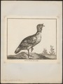 Meleagris gallopavo - 1767 - Print - Iconographia Zoologica - Special Collections University of Amsterdam - UBA01 IZ16900312.tif
