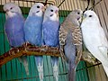 Melopsittacus undulatus -a family of five pet Budgerigars-8a.jpg