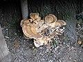 Meripilus giganteus - geograph.org.uk - 234854.jpg