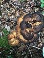 Meripilus giganteus 97786458.jpg
