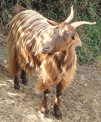 Messinese goat - A Messinese billy