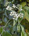 Micromelum minutum flowers and foliage.jpg
