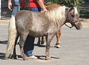 Flaxen gene - The silver dapple gene lightens a black hair coat to a color that resembles chestnut and lightens the mane and tail to a very light shade