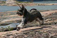 Miniature Schnauzer salt & pepper 2.jpg