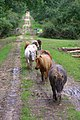 Miniature ponies on track south of Denny Lodge Inclosure, New Forest - geograph.org.uk - 510039.jpg