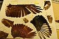 Miscellaneous bird wings in Biology Preparation Lab - Burke Museum - 01.jpg