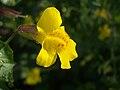 Monkey Flower (58422384).jpg