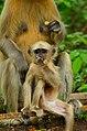 Monkey in Tata Steel Zoological Park.jpg