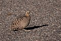 Montezuma Quail (female) SW Research Station Portal AZ 2018-09-05 07-22-32 (43802656004).jpg
