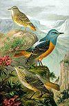 Monticola saxatilis NAUMANN.jpg
