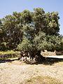 Monumental Olive tree near Kavousi (Crete) 03.jpg