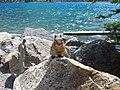 Moraine Lake ground squirrel - panoramio.jpg