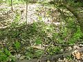 Morchella diminutiva growing under clonal stands of Asimina triloba.jpg