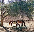 Morning Horses, Cherry Valley, CA 3-13 (15836822362).jpg