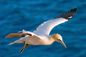 Photograph of an adult northern gannet in flight above clear blue waters in Heligoland
