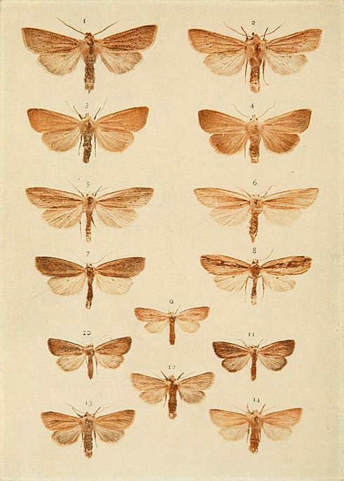 Moths of the British Isles Plate145.jpg