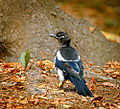 Moulting magpie (21521233101).jpg