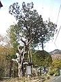 Mount Hôrai-ji Buddhist Temple - Temple Juniper.jpg