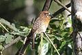 Moustached Puffbird (Malacoptila mystacalis) (8079778407).jpg