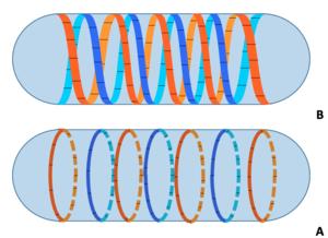 MreB - Image: Mre B Protein