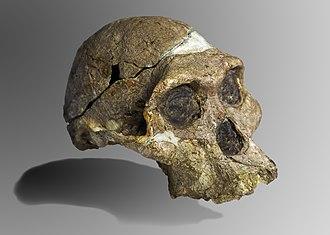 Australopithecus - Image: Mrs Ples