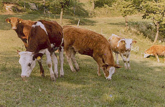 San Rocco di Piegara - Cattle at contrada Negri